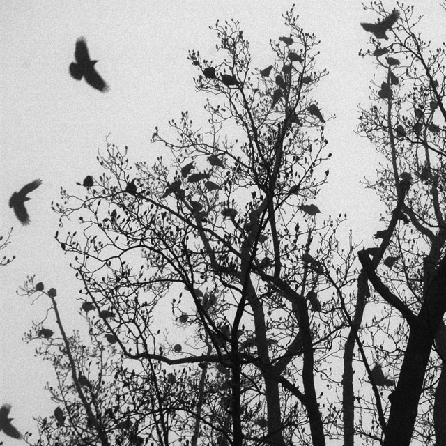 Crows @ Dawn On Rockville Pike | original photo © John Carmody