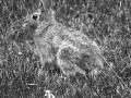 bunny-BW.jpg